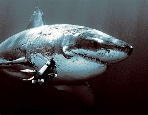 imagenes reales de un megalodon encuentran el tiburon mas grande del mundo taringa