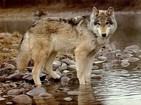 9 best images about wolf timber wolf wallpapers wallpaper cave
