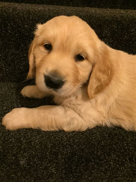 golden retriever puppies for sale south west golden retriever y golden retriever puppies barnsley south
