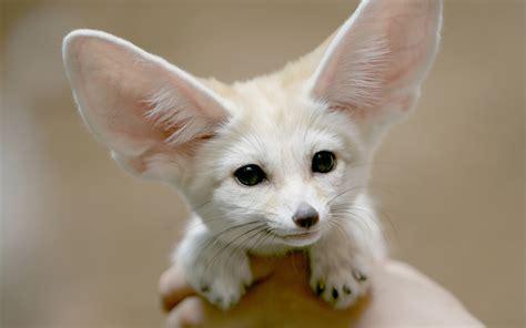 fennec fox best animal wallpapers