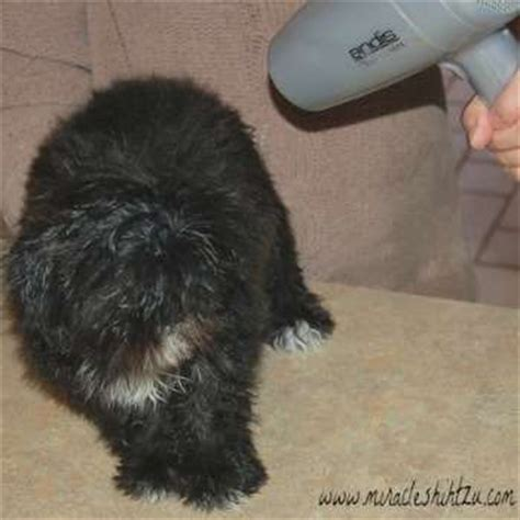 shih tzu bloody stool new puppy owner faq