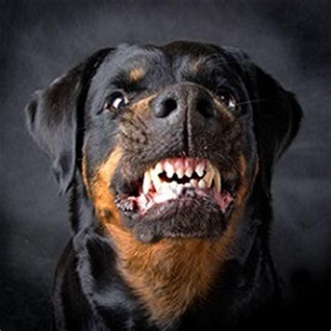 rottweiler barking why does a rottweiler bark karma s rottweilers