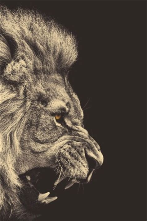wallpaper iphone 7 lion angry lion hd wallpapers