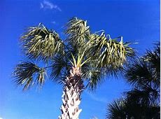 17 best Orlando FL Palm Trees images on Pinterest | Palm ... Milk Cow For Sale In Florida