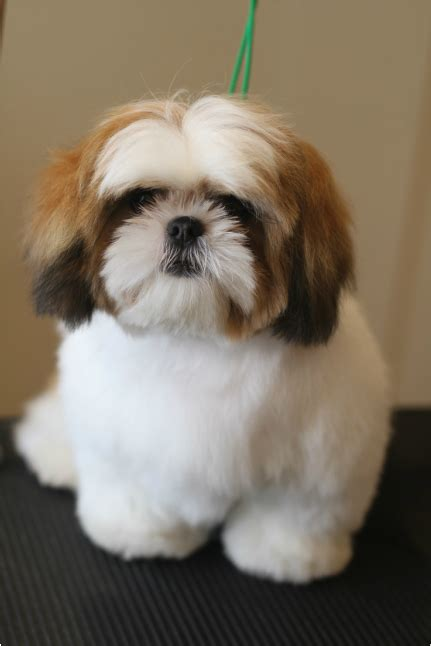 grooming a shih tzu puppy groomer s coquitlam aviva dogspaw grooming coquitlam