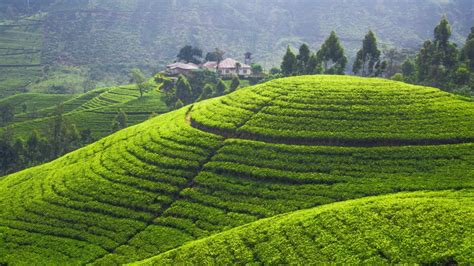 wallpaper tea plantation   wallpaper hills trees