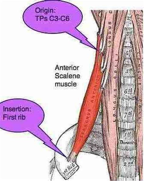 Pictures Of Anterior Scalene Muscle Scalene Muscles