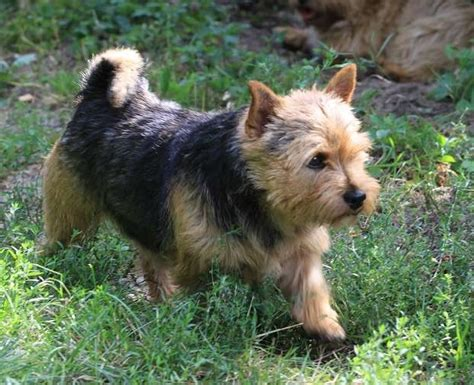 Norwich Terrier Shedding by 17 Best Images About Norwich Terrier On For