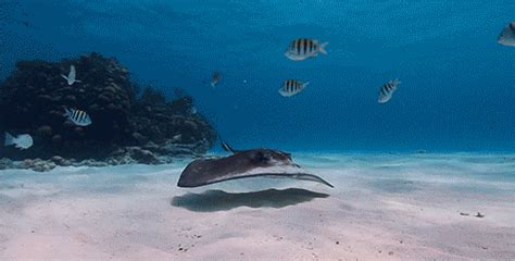 Gif Animals Science Sharks Biology Marine Biology Behavior - stingray gif tumblr