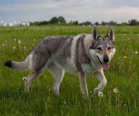 wolfdog puppy czechoslovakian wolfdog info temperament puppies pictures