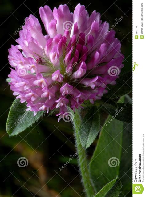 Purple Cover by Purple Clover Royalty Free Stock Images Image 6829149