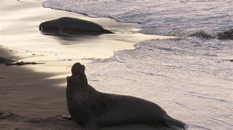 animal sxs and woman sxs vs nanoflash stills elephant seals at dvinfo net