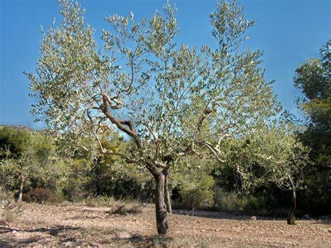 concime per olivo in vaso olivo in vaso ulivo olivo coltivato in vaso