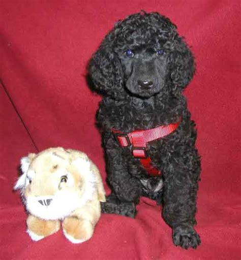 royal poodle lifespan standard poodle puppies for sale