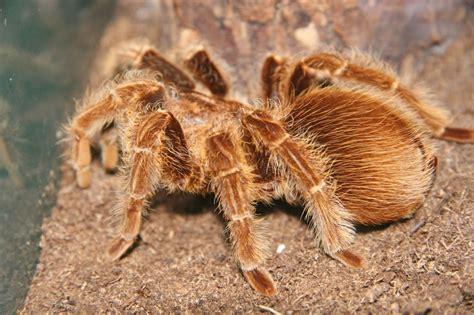 tips for choosing and buying a healthy pet tarantula