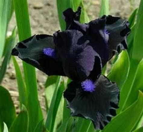 imagenes de flores iris la legendaria flor de iris plantas