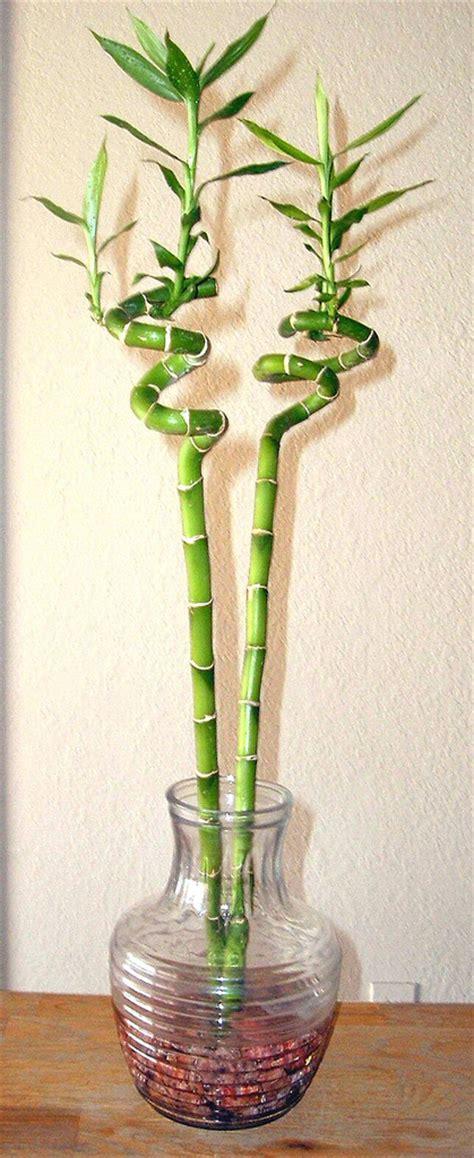 file lucky bamboo spiral houseplant jpg wikipedia