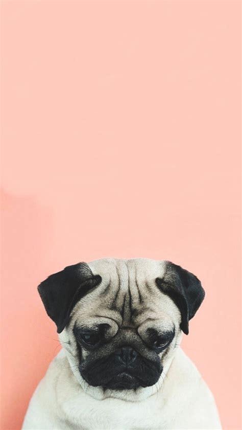 pug screen screensaver imagem de pug and sad iphone back wallpaper and phone