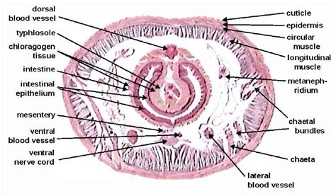 labeled earthworm cross section bio practical 1 biology 350 with heatwole at
