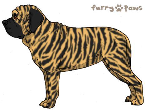 mastiff colors paws breed colors mastiff colors