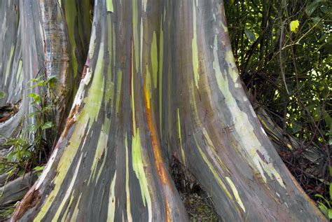 rainbow trees rainbow eucalyptus tree learn about rainbow eucalyptus