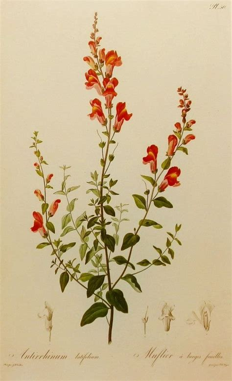 snapdragon tattoo snapdragon flower pierrejoseph redoute17591840 flower