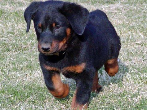 beauceron puppies beauceron puppies beauceron breeders beaucerons for sale beaucerons breeds picture