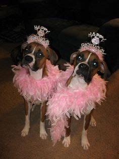 99 best images about bulldogs pugs and boxers on pug 99 best boxers quot birthdays quot images on boxer boxers and birthdays