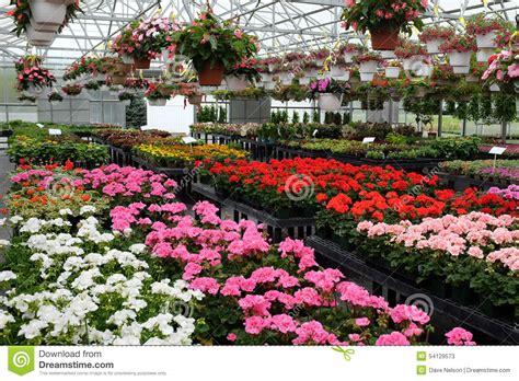 diritti annuali di commercio fiori annuali da vendere in serra 1 fotografia stock