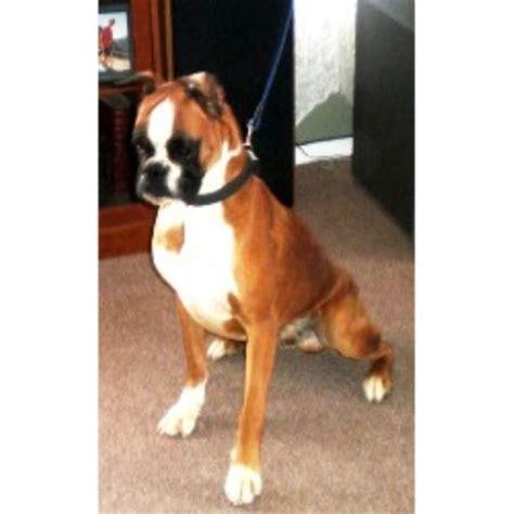 free puppies el paso liebsthal boxer breeder in el paso