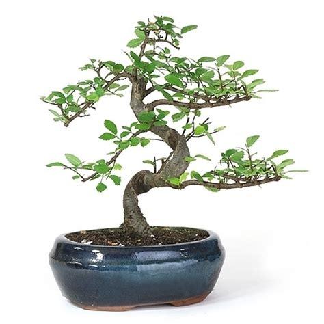 bonsai chinese elm bonsai tree  easternleafcom
