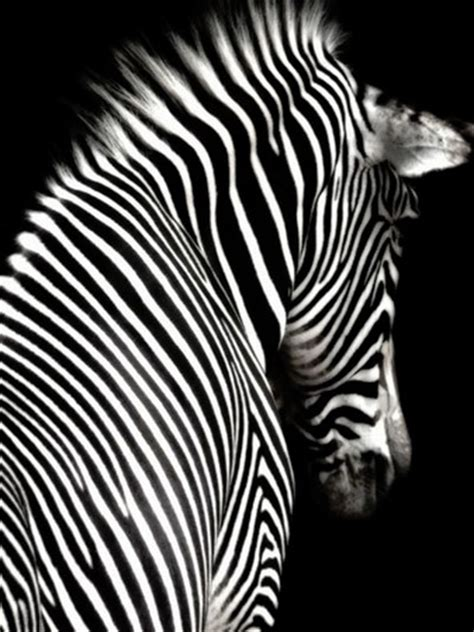 animal pattern photography inside the pomegranate stripes black and white photography