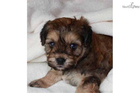 Hypoallergenic Non Shed Dogs by Cavachon Puppy For Sale Near Sioux Falls Se Sd South