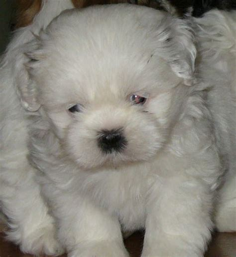 White Fluffy by Animals White Fluffy Puppie