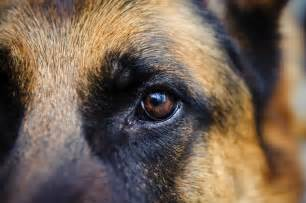 german shepherd eye color german shepherd wallpapers wallpaper cave