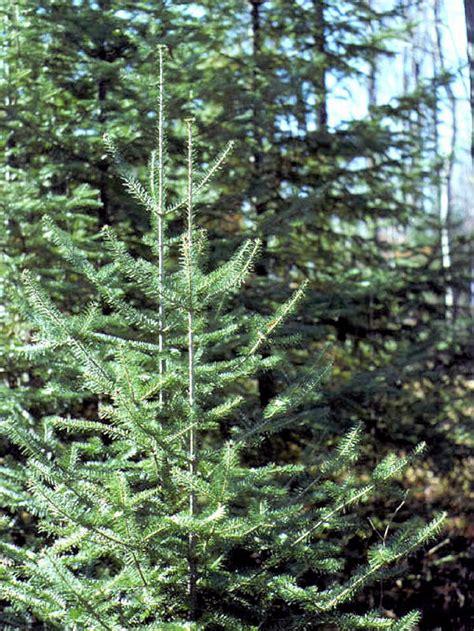 Balsam Tree - isu forestry extension tree identification balsam fir