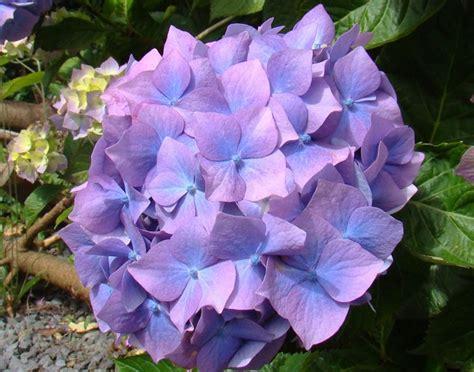 potatura fiori fiori ortensie potatura ortensia o hydrangea coltivazione