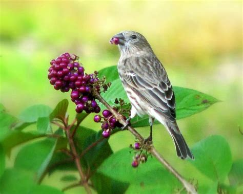 finch eating beautyberry photograph by peg urban