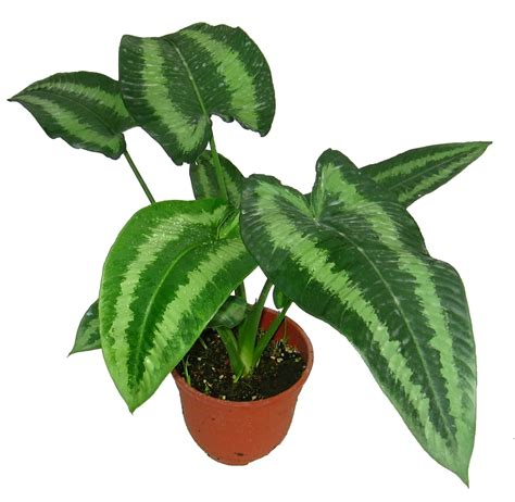 indoor plants malaysia indoor plants wellgrow horti trading