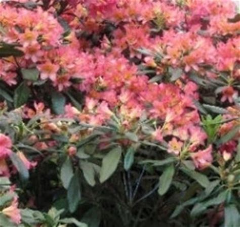 siepi fiorite siepi fiorite speciali