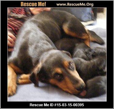 rottweiler rescue oklahoma oklahoma rottweiler rescue adoptions rescueme org