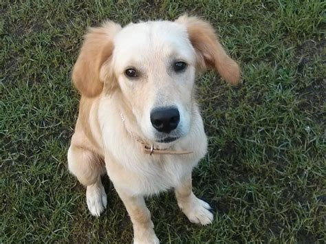 golden retriever 7 months lovely 7 month golden retriever puppy south west pets4homes
