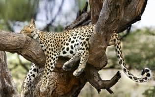 Jaguar Africa Animals Sleeping Leopard Desktop Wallpaper Nr 57702 By
