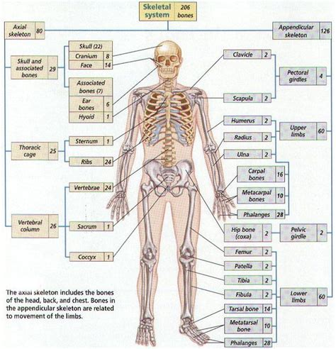 best 25 human skeleton bones ideas only on skeleton anatomy labelled pictures all 206 bones in the human anatomy labelled