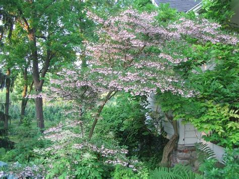 64 best images about ornamental trees for zone 4 5 on pinterest
