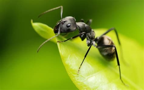 black ants black ant insects world