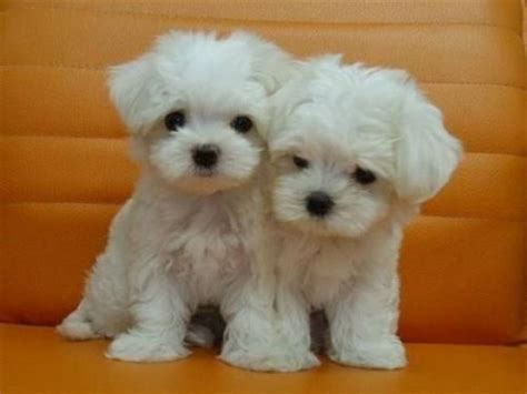 how much are maltese puppies 1000 ideas about maltese puppies on maltese maltese dogs and teacup