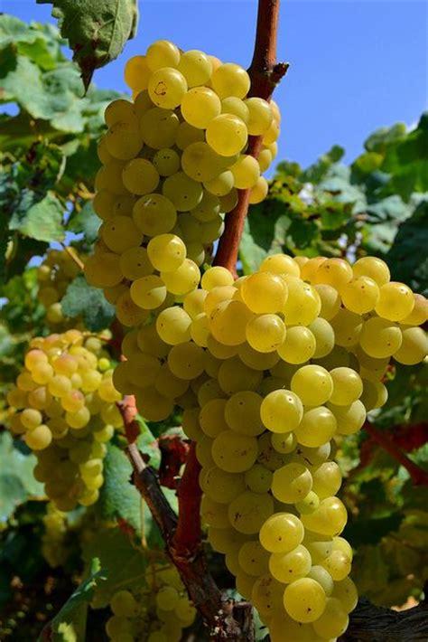 uvas blancas imagenes 17 best images about grapes on pinterest est est est
