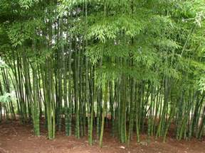 our bamboo garden