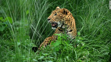 leopard s blood a leopard novel eaters field guide to nature